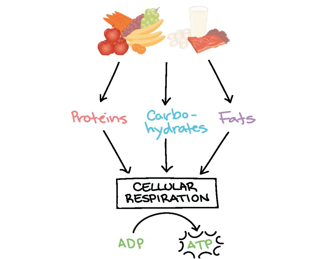 Nedaudz informācijas par metabolisma veidiem